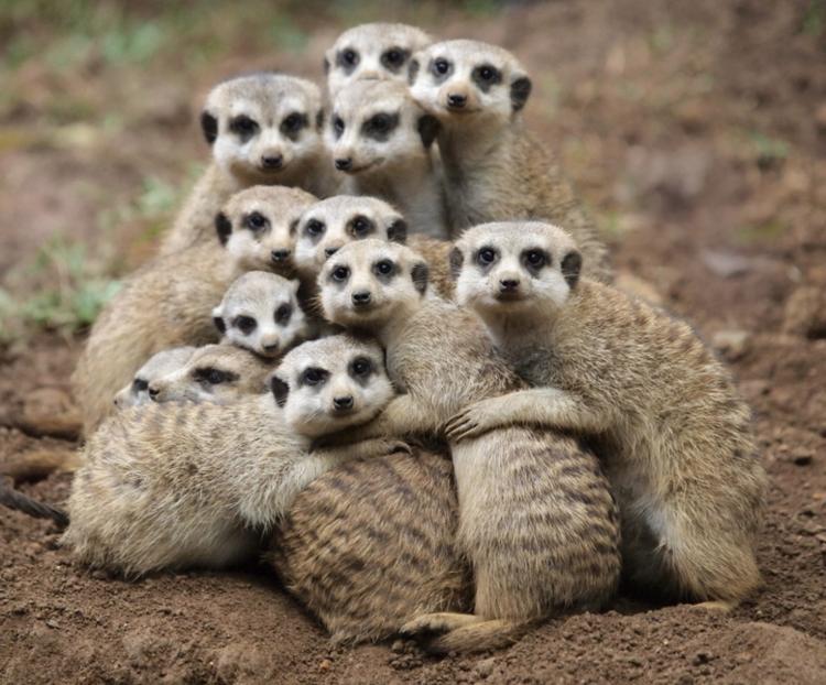 meerkats+II.png