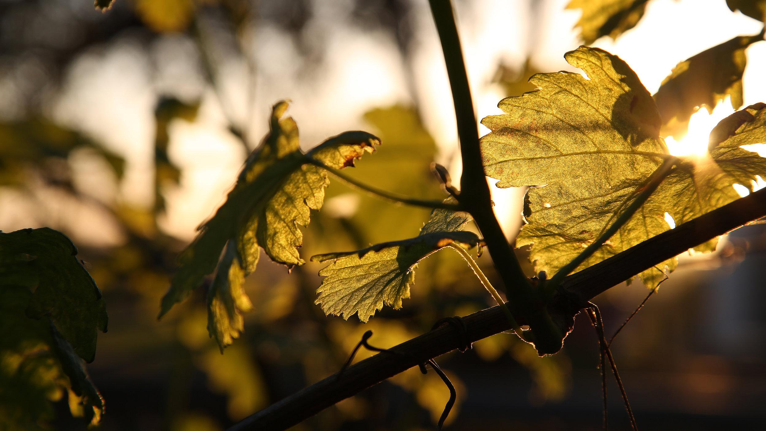 Sunset vine.jpg