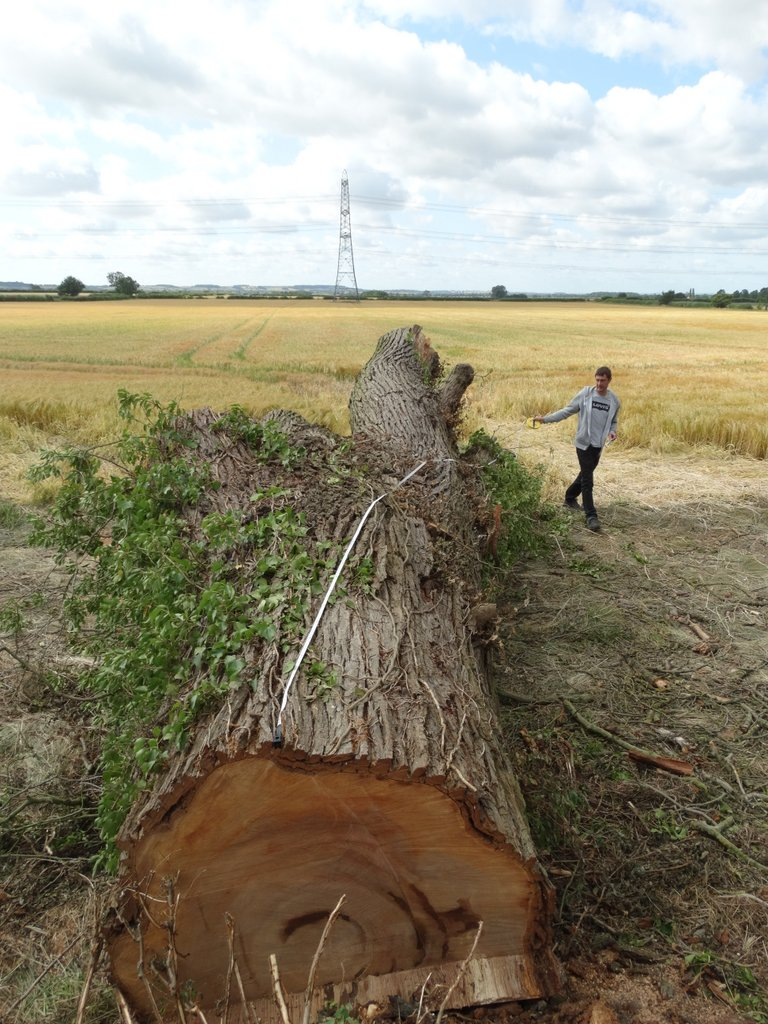 Sourcing large elm tree from tree surgeon for tabletops
