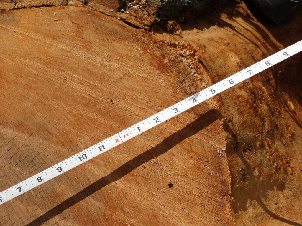 Large diameter elm log for tabletops