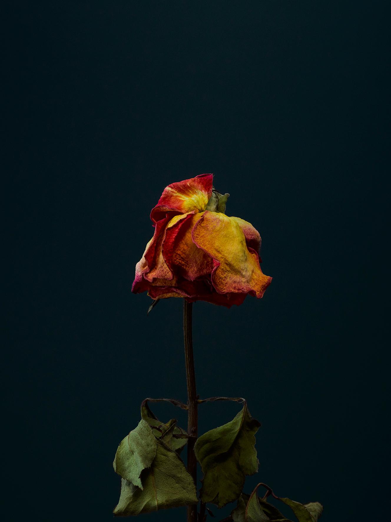 rose-2-copy.jpg