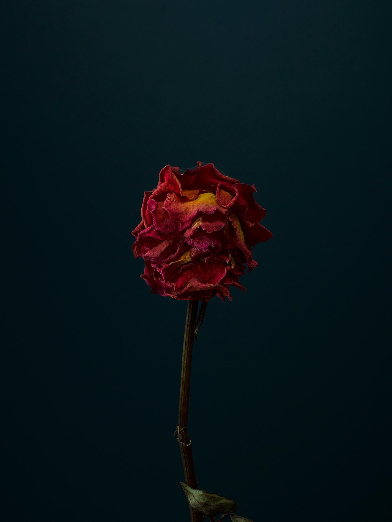 rose-5-copy.jpg