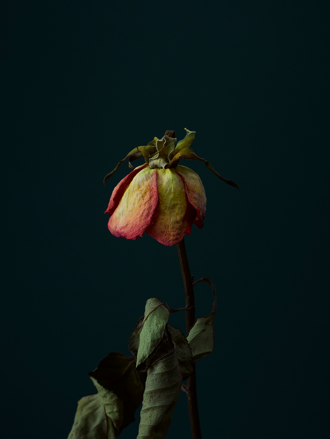 rose-7-copy.jpg