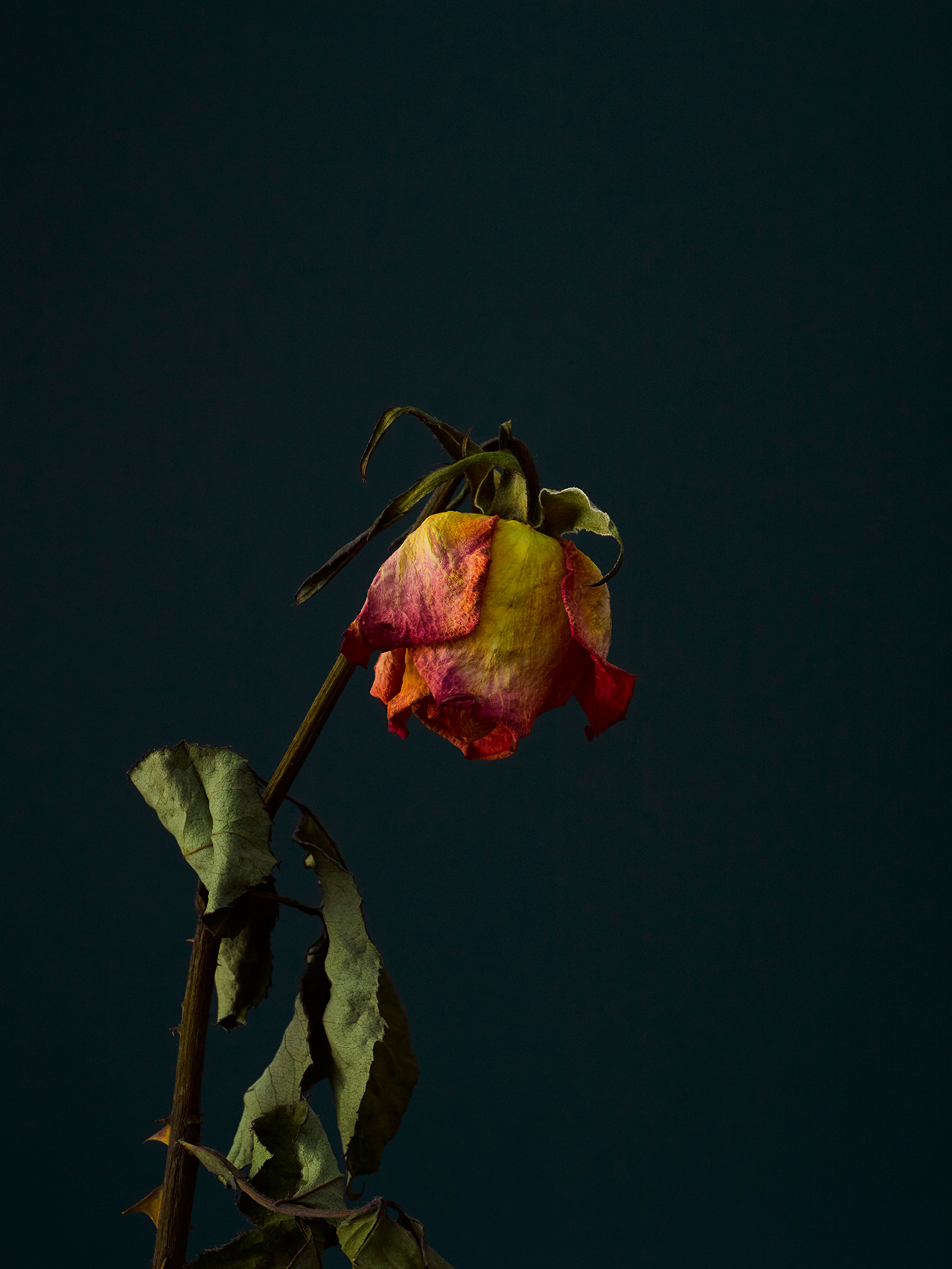 rose-10-copy.jpg