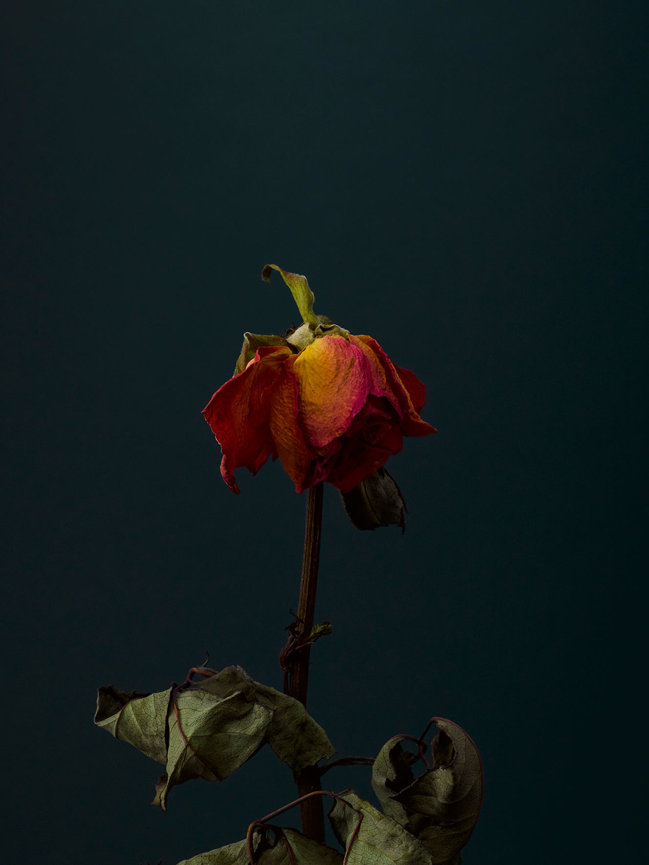rose-11-copy.jpg