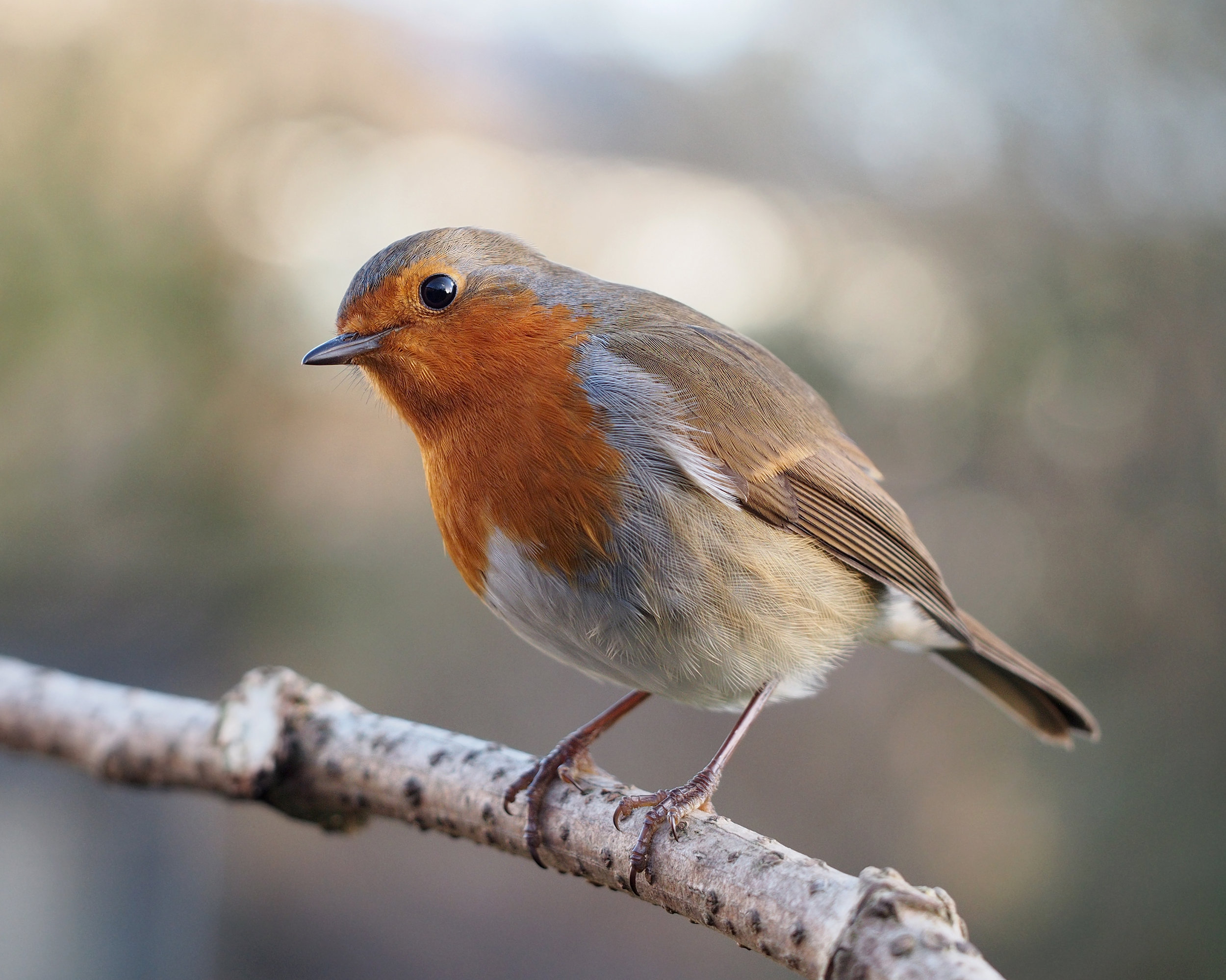Erithacus_rubecula_with_cocked_head.jpg