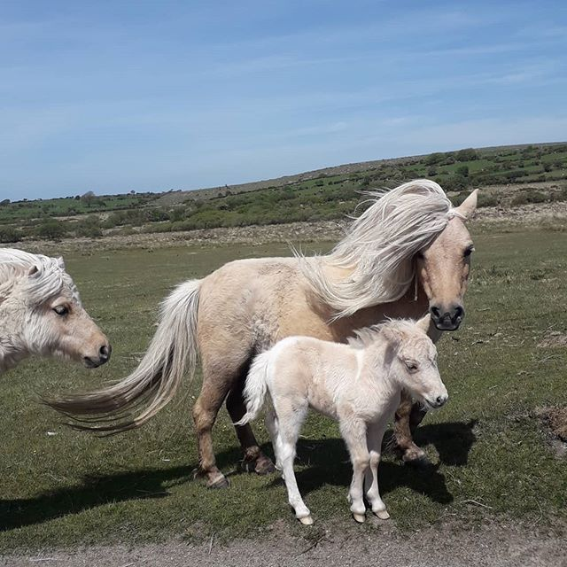 Lovely to see all the ponies and foals on the Moor this morning. Look at this gorgeous pair. . . . . #minihorse #ponies #bodminmoor #nature #moorland #cornwall #cornishhorizons #cornishlife