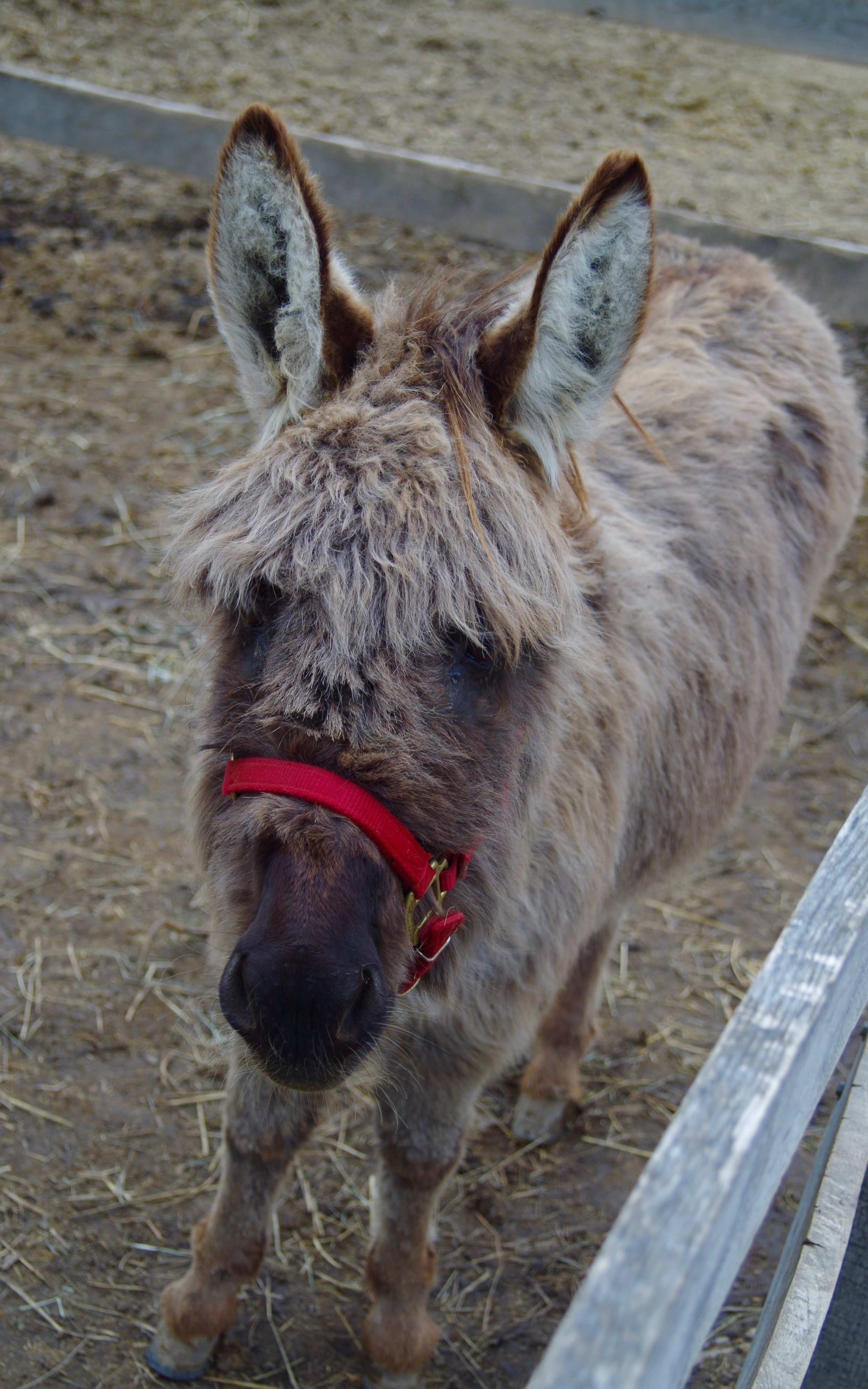 Rabbit - Half Sponsor: Jackie DeSpiritoBreed: Minature DonkeyRabbit is the farm watchdog braying a greeting when you approach her paddock. She is an excellent addition to our ground therapy program and is a great ambassador in our outreach programs.
