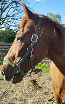 Max - Seeking a sponsor!Breed: Tennessee Walking HorseMax came to us after his owner's death. He has developed a strong friendship with his pal Penny.
