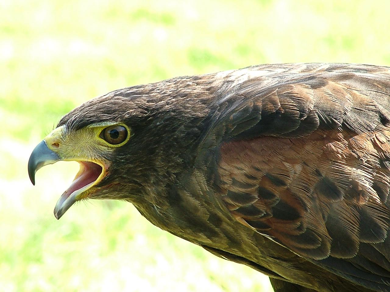 Harris hawk at Inspired Falconry