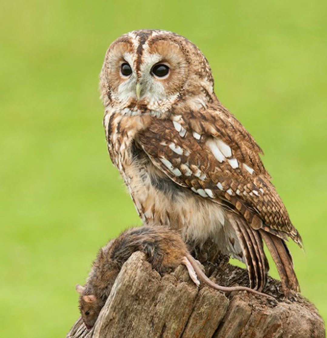 Tawny owl and its prey