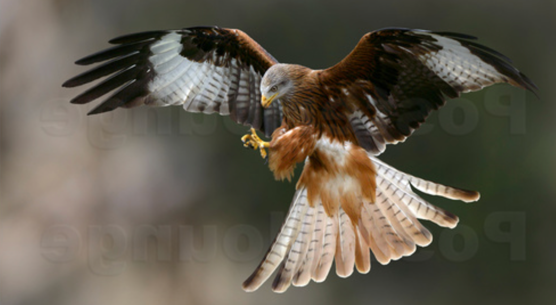 LindaWright poster image of red kite