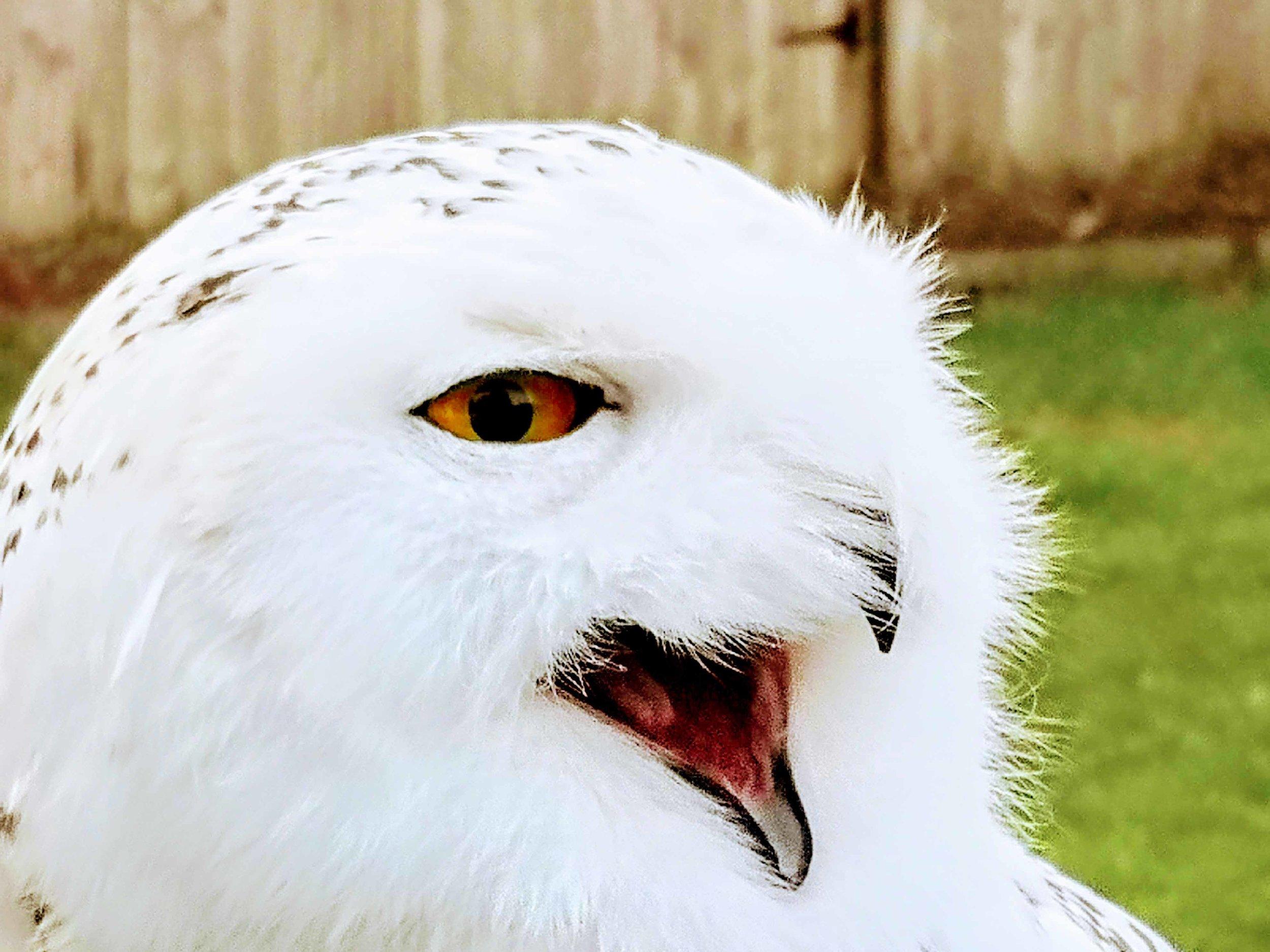 Argyll adult head and beak open.jpg