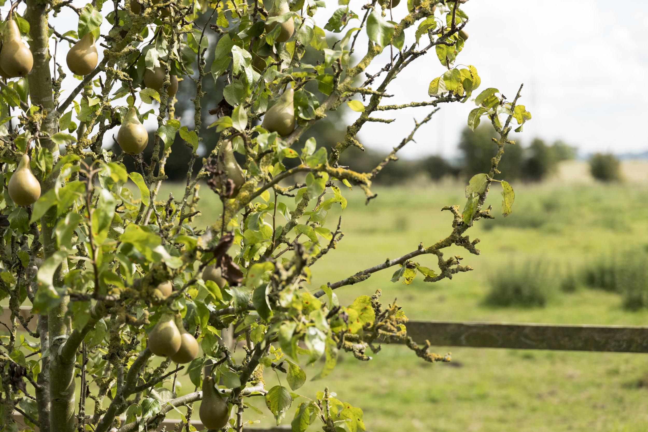 Pear tree orchard.jpg