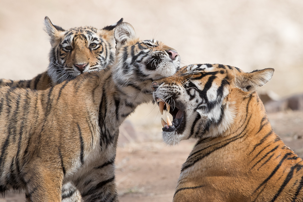 Affectionate tigers