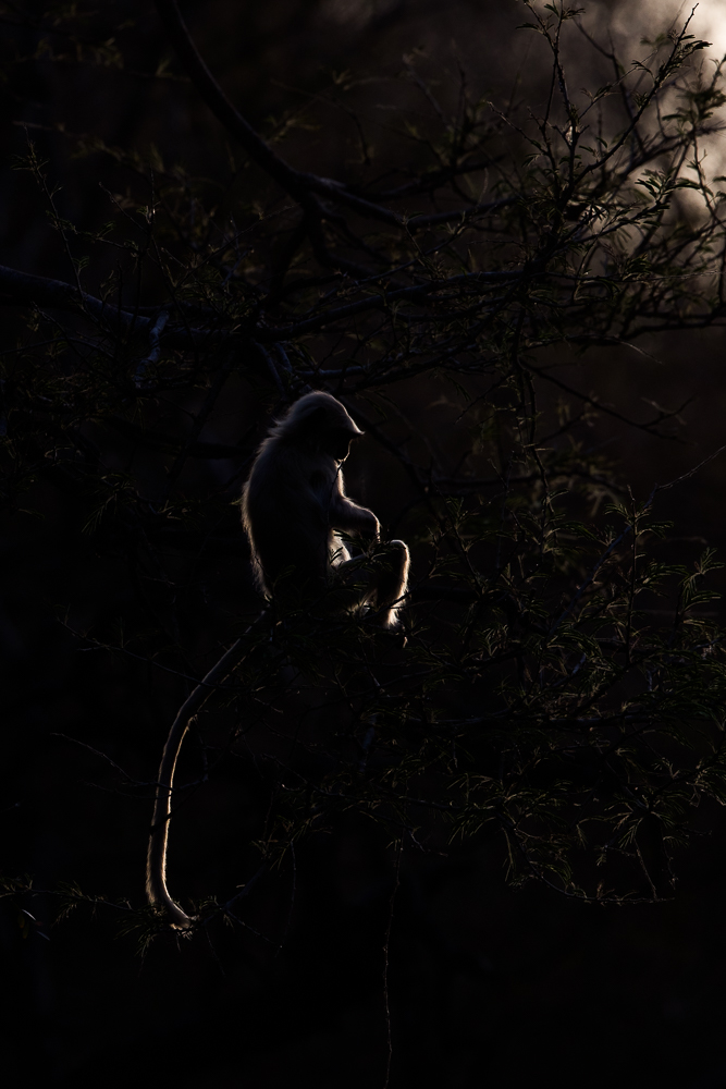Langur at sunset