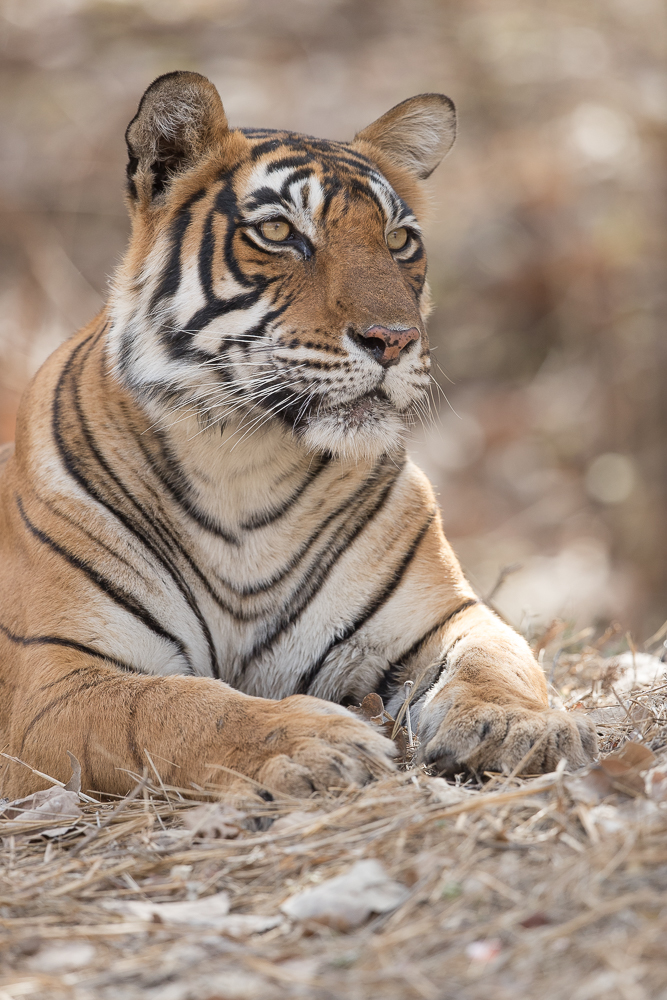 My first ever tiger photograph, in 2017