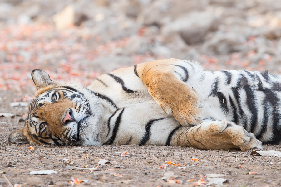 The male cub of Noor, having a snooze