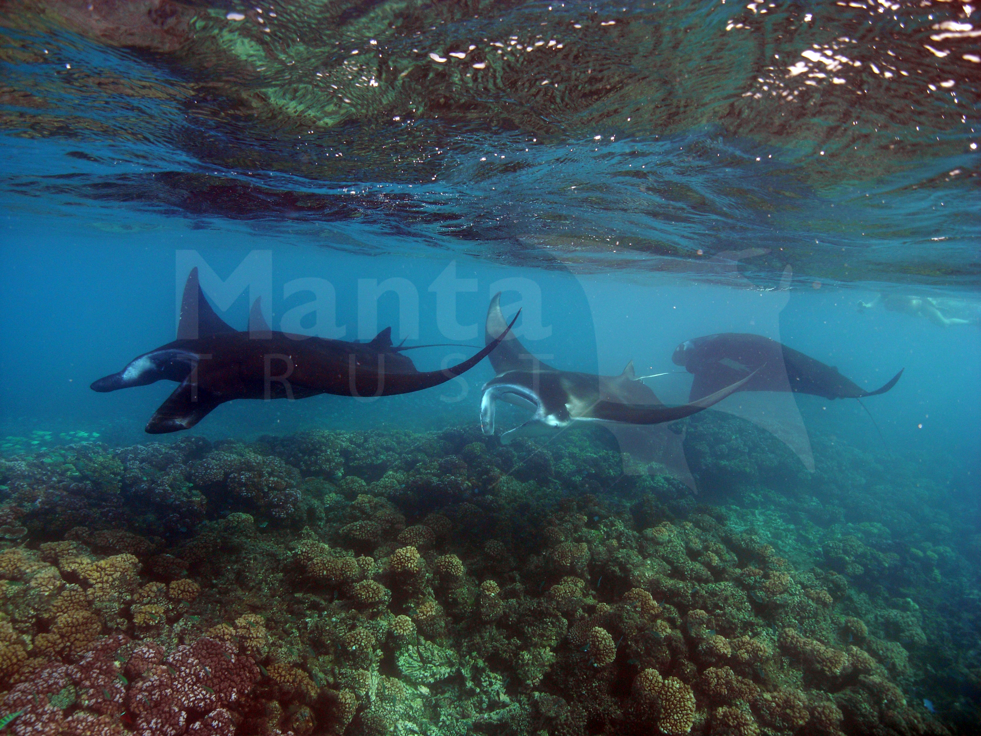 Female leads males into the shallows, Manta Channel, Yasawas, Fiji. Steve Pollett.jpg