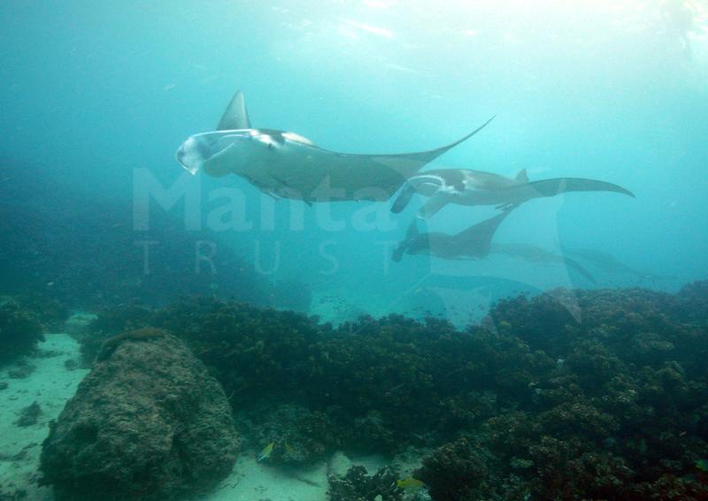 Mating Mantas, Manta Channel, Yasawas, Fiji. Steve Pollett.jpg