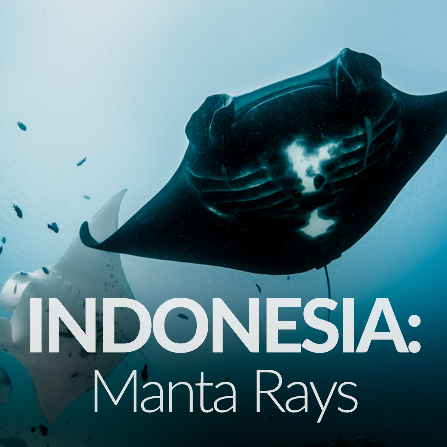 Our Affiliate Projects_Gallery_Indo Mantas.png