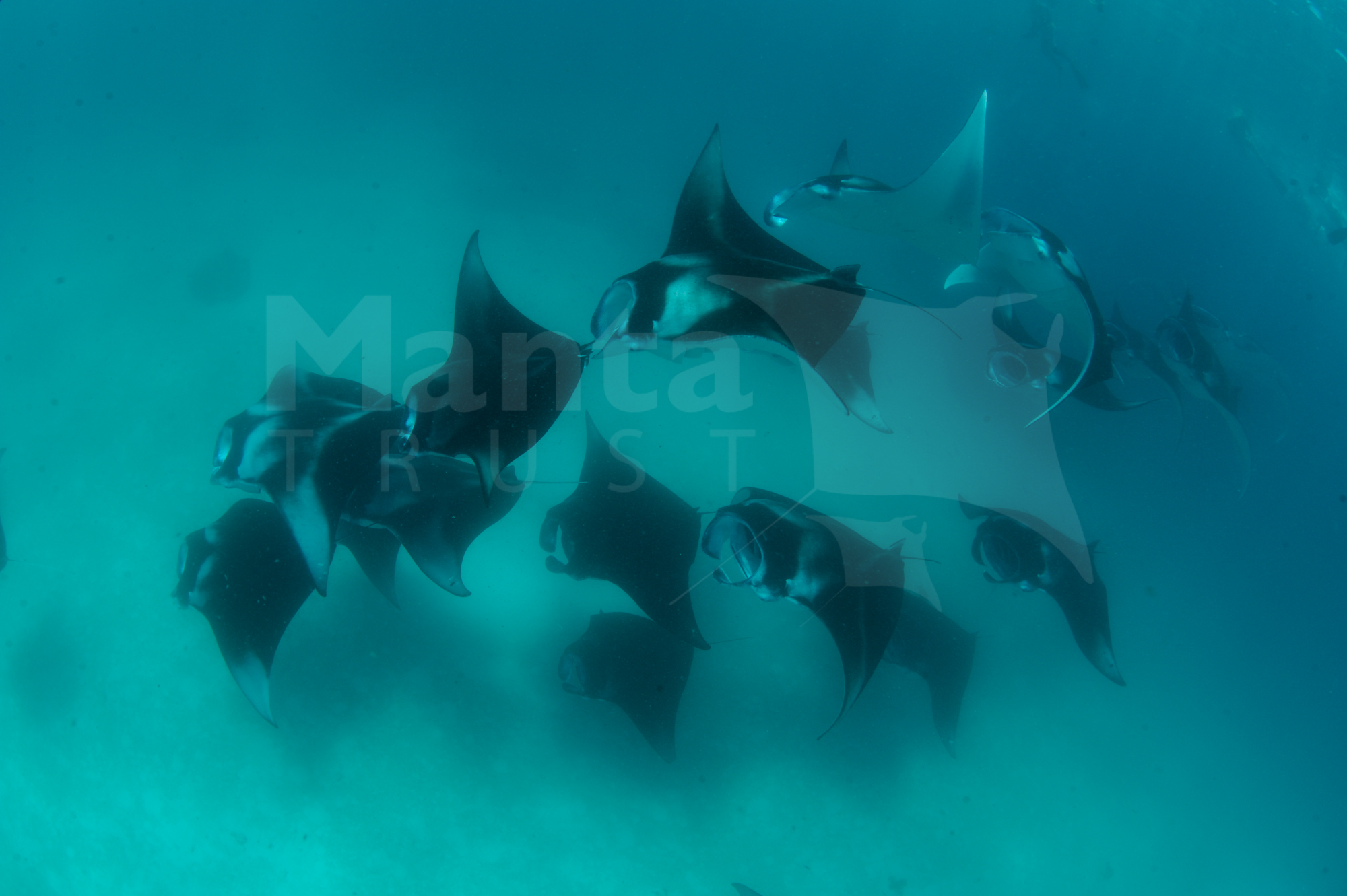 Reef Manta Ray, Manta alfredi, Hanifaru Bay, Baa Atoll, Maldives © Guy Stevens Manta Trust 2010 (4).jpg