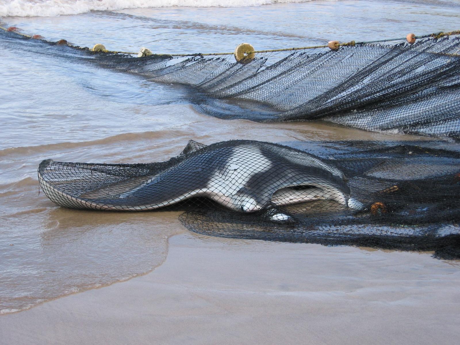 A manta killed in nets in Grenada, Caribbean.