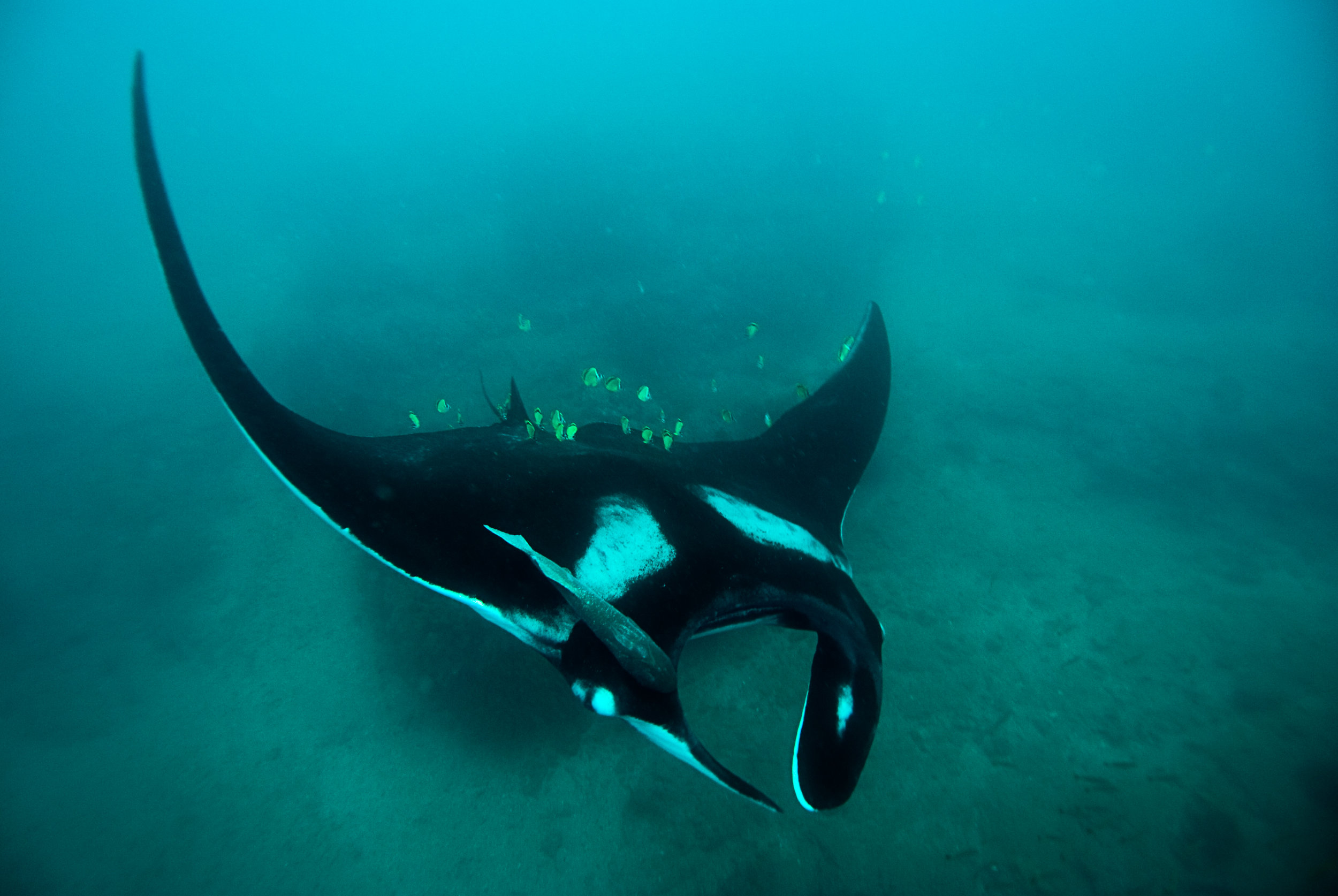 An oceanic manta ray ( Mobula birostris ) in the waters of Peru  . Photo by Mark Harding .