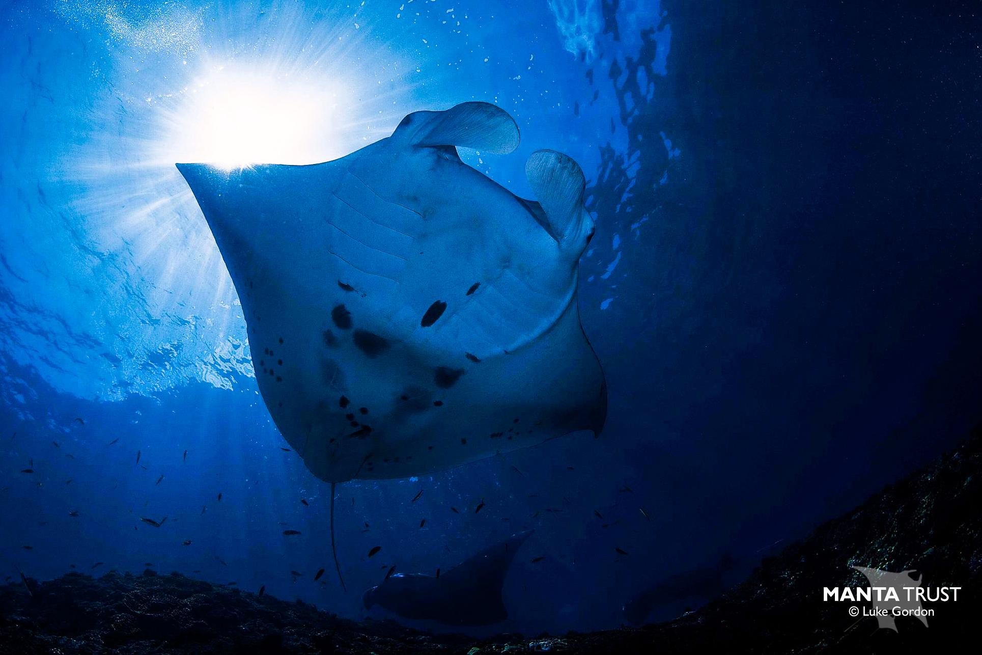 Fiji_manta ray_Luke Gordon_Chevron_watermarked.jpg
