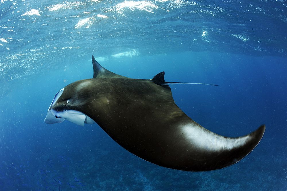 Manta Trust_Chagos Expedition 2018_Guy Stevens_Low Res (18).jpeg
