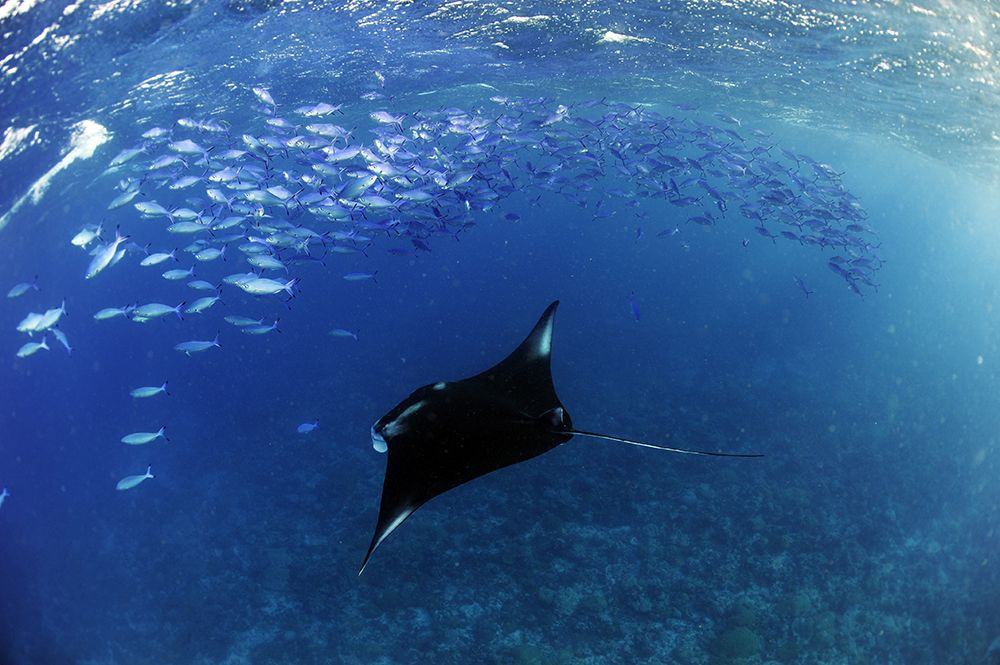 Manta Trust_Chagos Expedition 2018_Guy Stevens_Low Res (29).jpeg