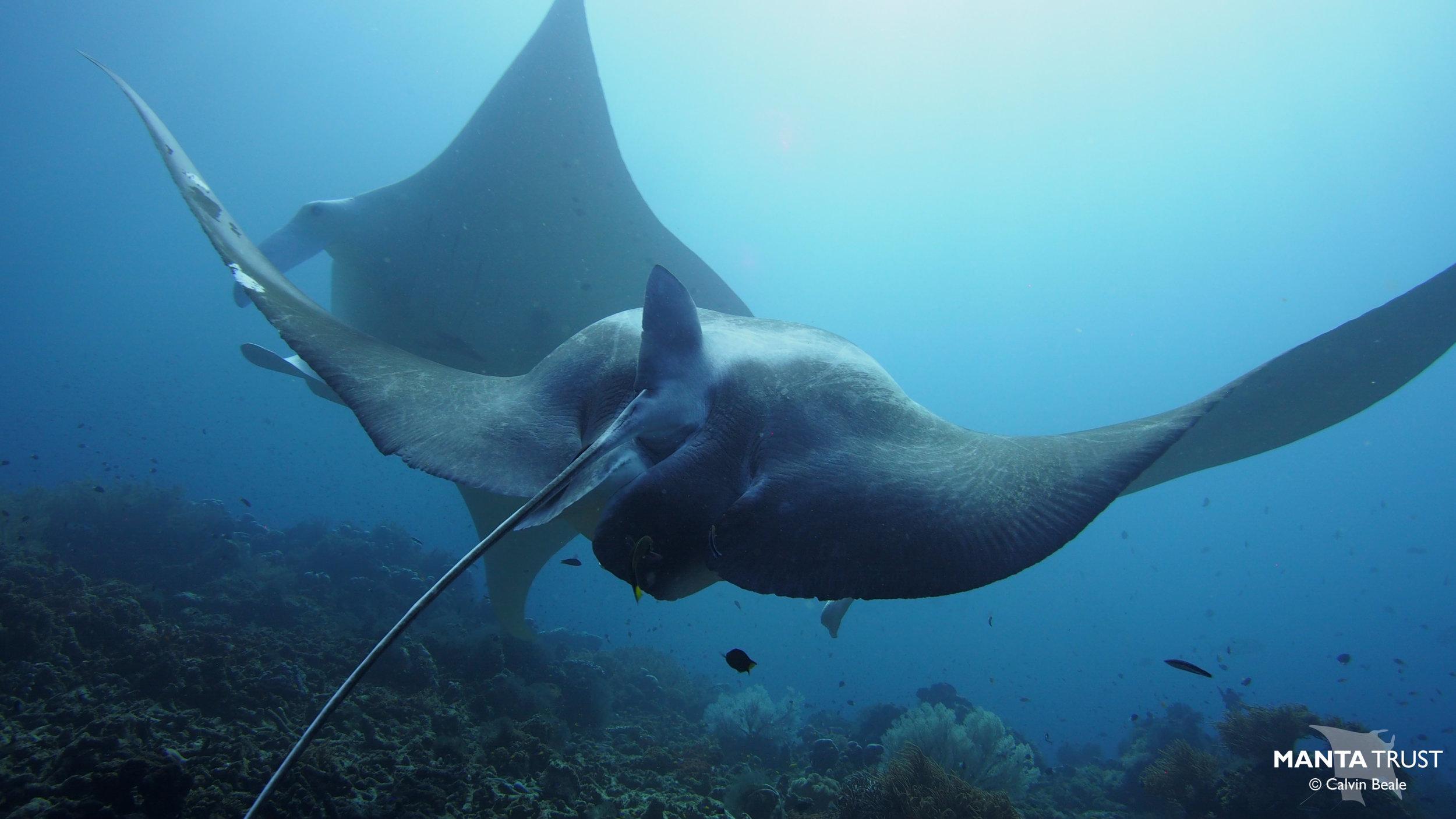 pregnant reef manta cleaning.jpg