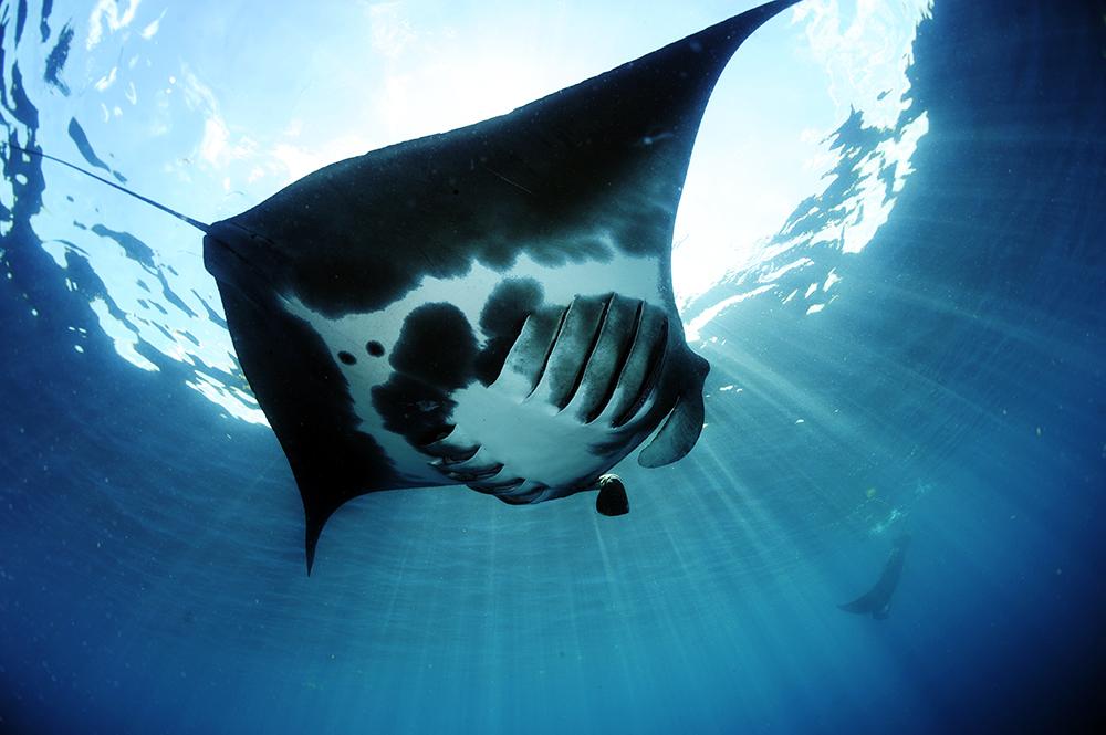 Atlantic Manta Ray_Mobula cf. birostris_Isla Mujeres_Quintana Roo_Mexico © Guy Stevens_Manta Trust_2019 (3).JPG