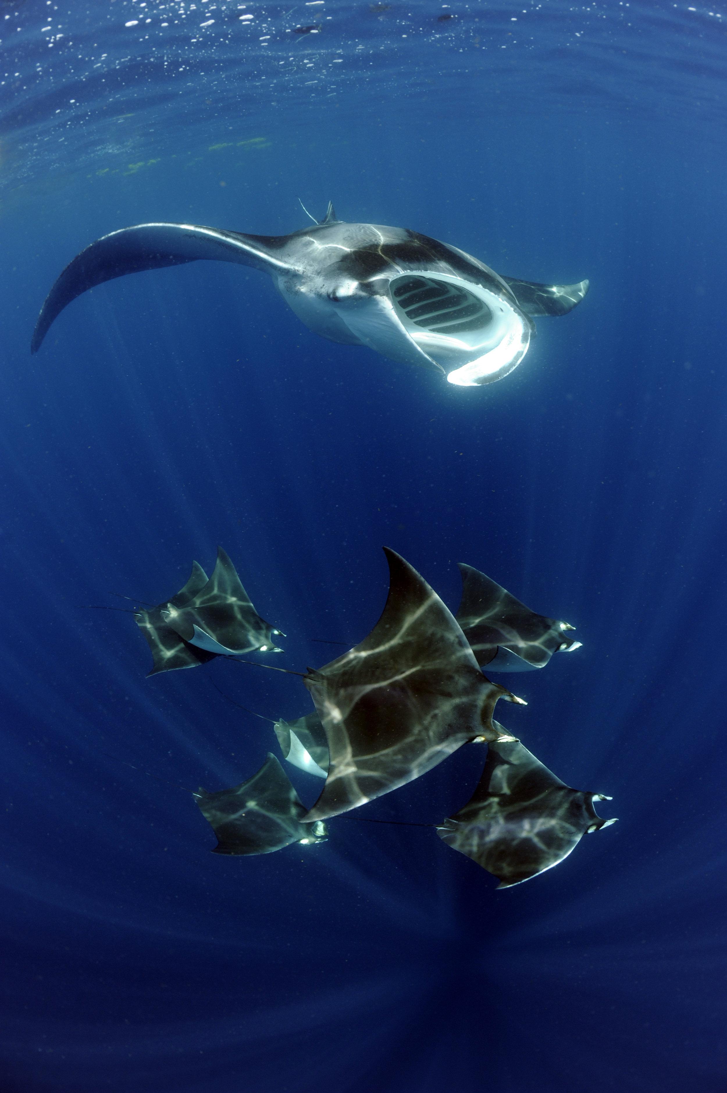Atlantic Manta Ray_M cf. birostris & West Atlantic Pygmy Devil Ray_M. hypostoma_Isla Mujeres_Mexico © Guy Stevens_Manta Trust_2019 (2).JPG