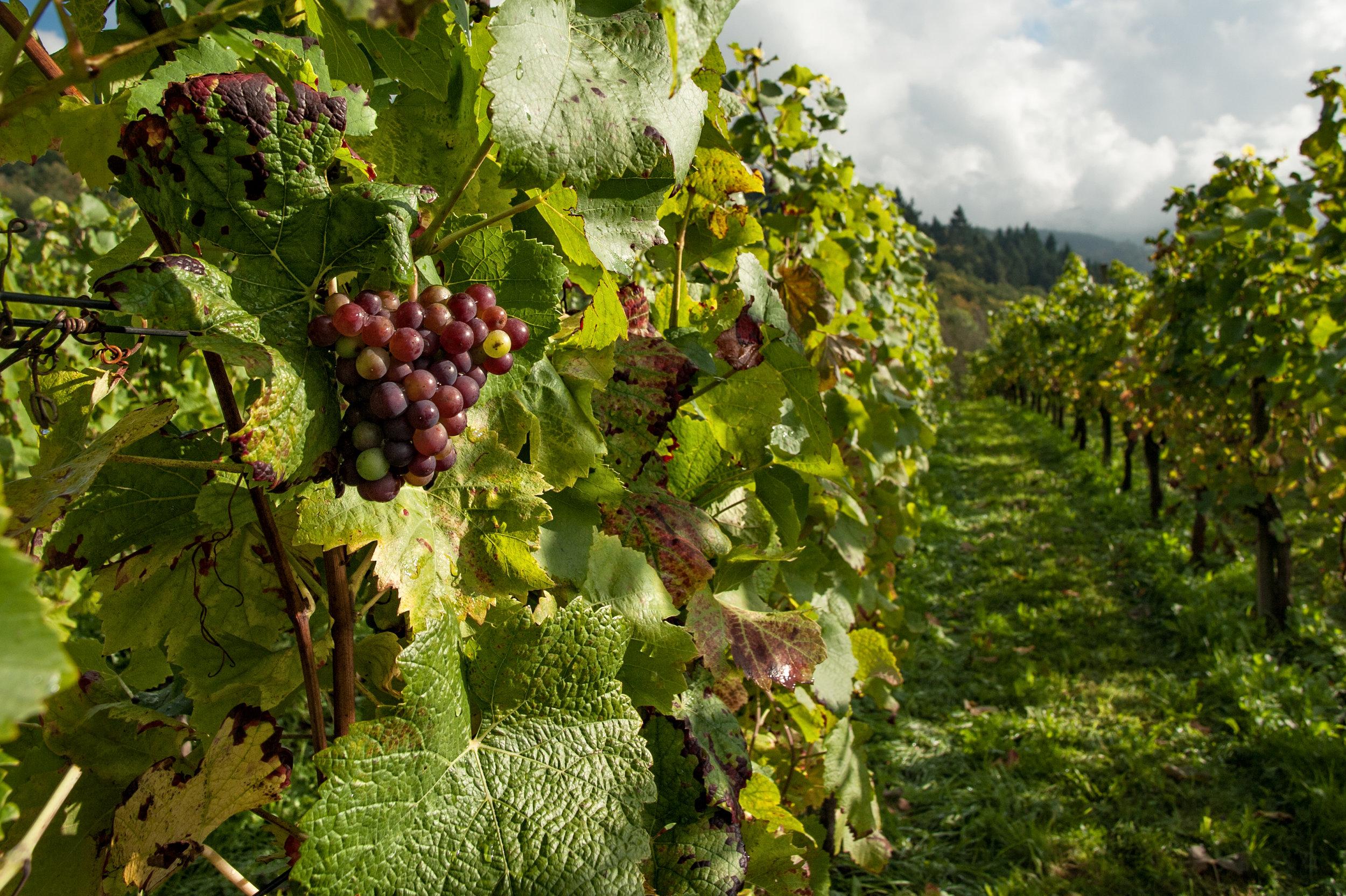 Vineyard pic 2.jpg