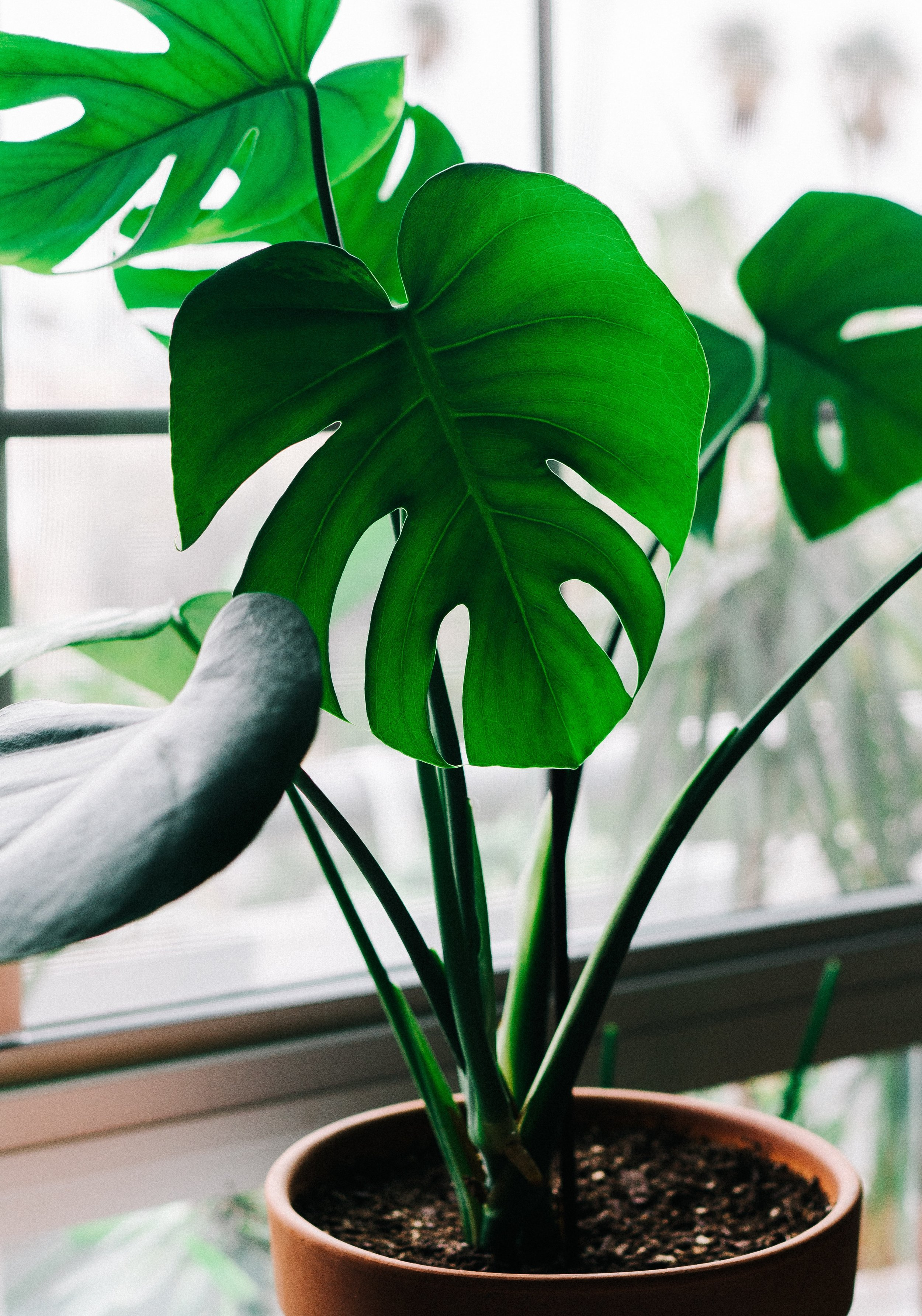 Monstera deliciosa - a.k.a. the Split Leaf Philodendron.Those iconic leaves! These huge majestic plants are sobeautiful, and I actually have a few faux stems sitting around that are also waiting for the perfect vessel to live in, but just haven't run into anything perfect yet. With this real life, living, breathing version though, I'm thinking this would do well in my office, which tends to get most of the morning and afternoon light and warms up quite a bit (more so than the rest of the house).