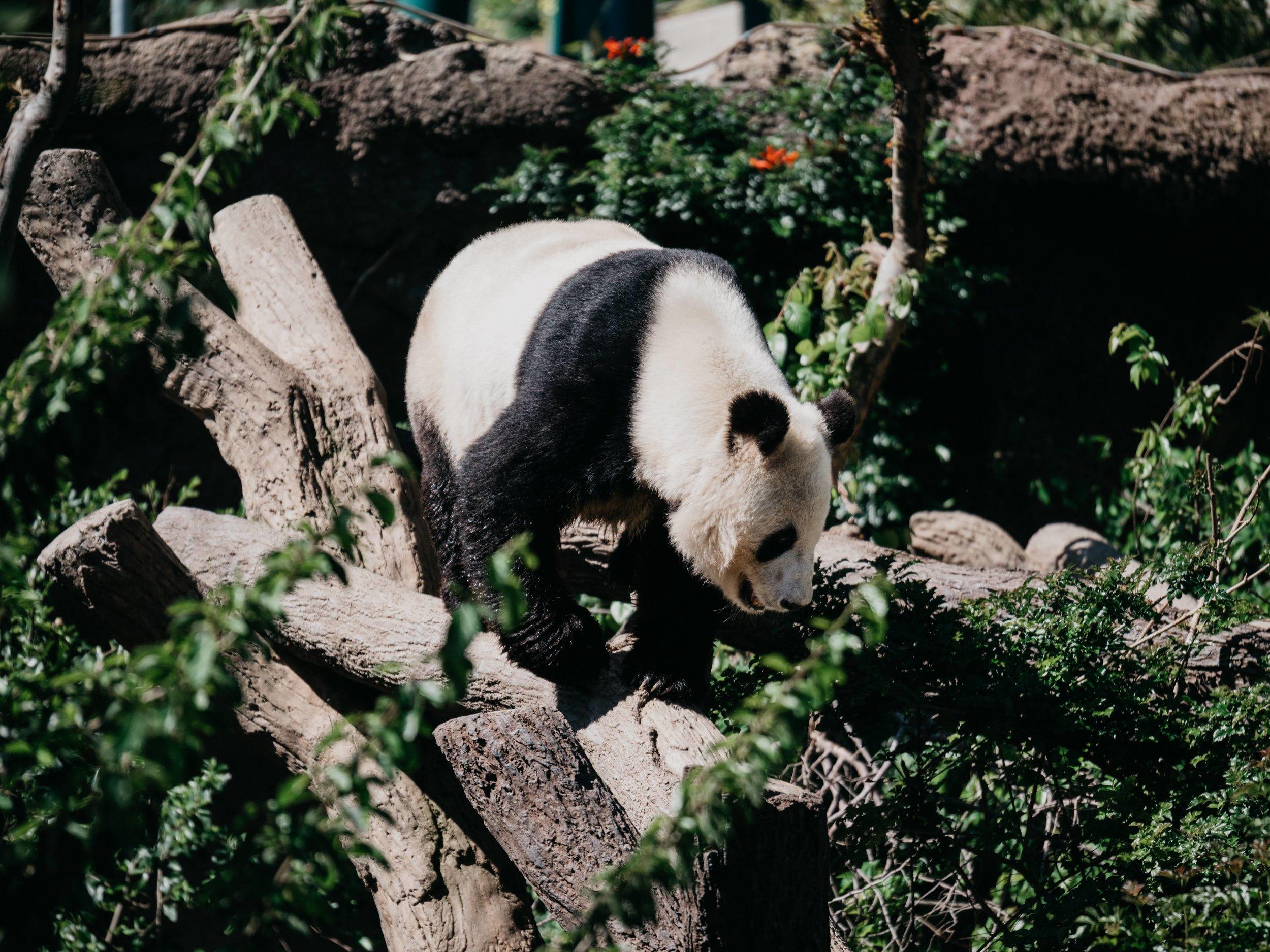 Goodbye Giant Pandas - Doodiebearz.com