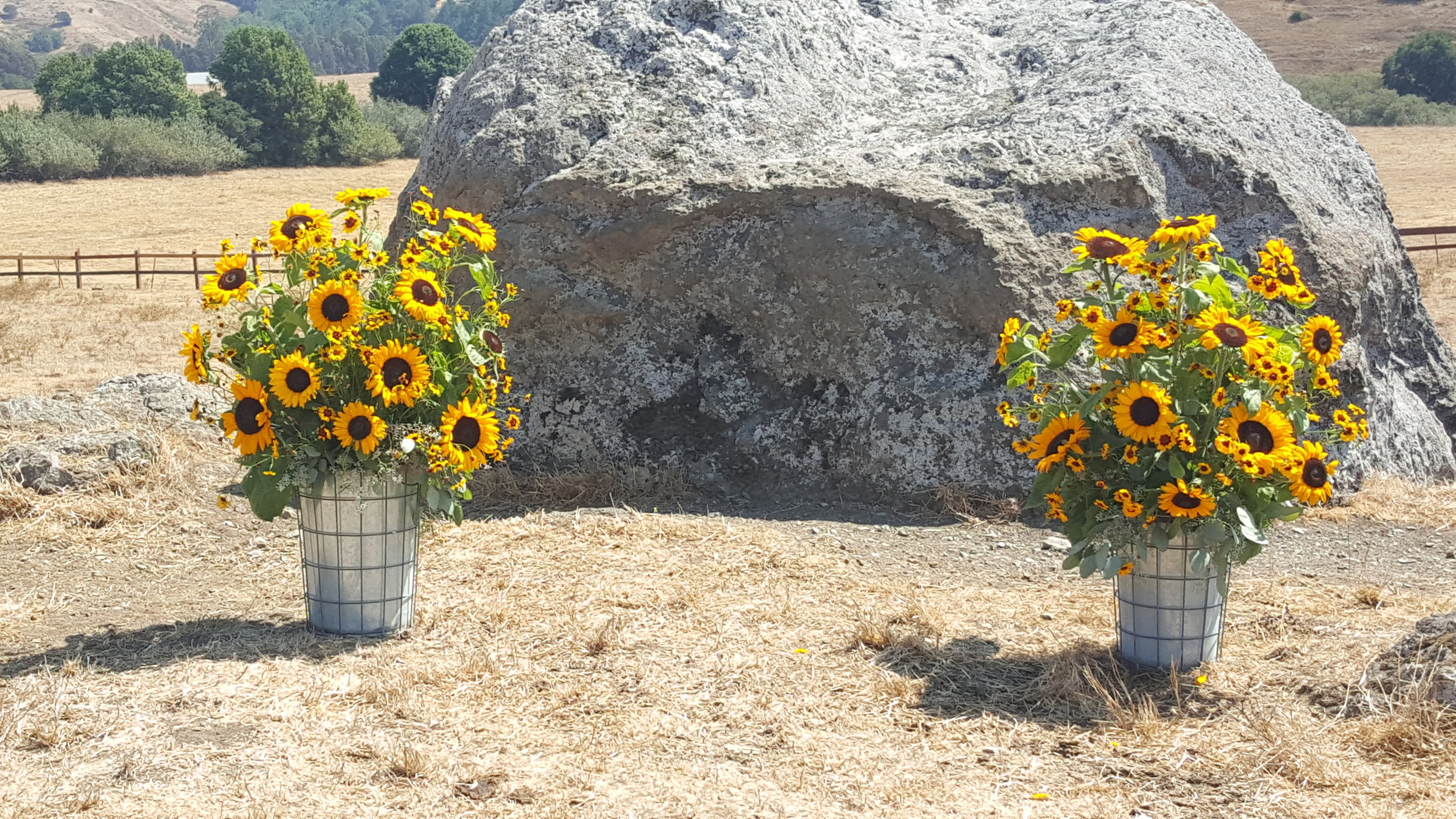 Sunflowers in galvanized buckets, ceremony flowers Cow Track Ranch, rustic ceremony flowers