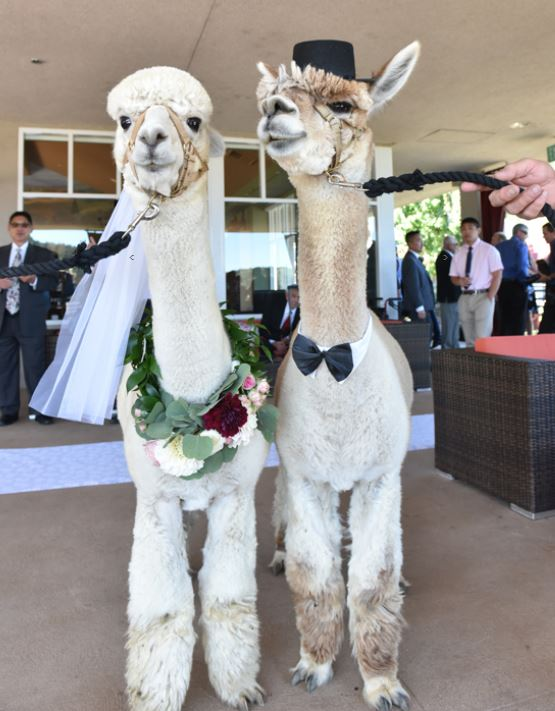 Flower garland for Mrs. Alpaca, guests at a wine reception at Sbragia Geyserville. Photo GinaHalferty