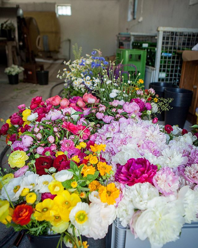Mein Arbeitsplatz im Sommer ist unser altes Presshaus (=Haus in dem die Weintrauben gepresst und vergoren werden mit Zugang zum Erdkeller). Es ist immer kühl, es gibt Wasser und genug Platz. #wherethemagichappens  Ich bin ja in einer Landwirtschaft aufgewachsen und mein Opa hatte ein paar Weingärten... die letzten Jahre ist der Wein immer weniger geworden und da bin ich mit den Blumen ins Presshaus eingezogen. Der perfekte Ort um die Blumen weiterzuverarbeiten.  Linda und meine Mama sind auch oft dabei. Geballte drei Generationen #girlpower sozusagen. Danke. ❤️ #blumenbund #Landwirtschaft #flowerfarmer #blumenabo #regionaleblumen #saisonal #slowflowers #hardworkpaysoffs #livingmyflowerdream PS: Danke auch @tinkalily die immer die beste Ablenkung/Unterstützung ist, wenn ichs brauch und mich die perfekten i-Tüpfelchen-Blumen aus ihrem Garten schneiden lässt ❤️