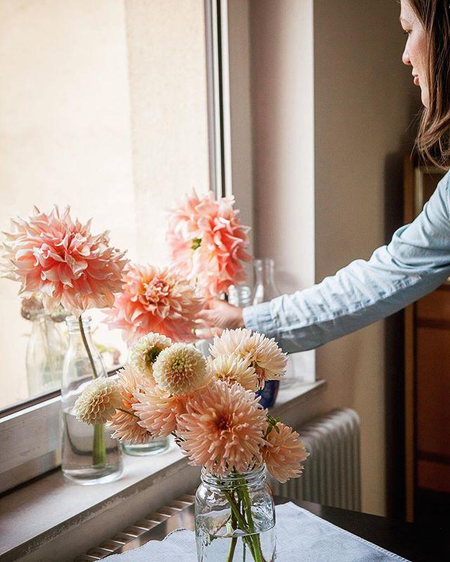Dahliensaison in vollem Gange... bei uns am Feld leider etwas mässig heuer (vorsichtig ausgedrückt) weil wir soviele Mäuse haben die mir die Knollen aufgefressen haben! 💔  Gut dass man auf seine #growerfriends zählen kann und ich bei der lieben @stadtblume_wien neben einem Frühstück einen Kübel voller Dahlien bekommen hab!  #blumenbund #dankebabsi #homegrown #flowerfarminginderstadt #dahlia #peachisthenewblack #herbstdeko #slowflowers #regionaleblumen