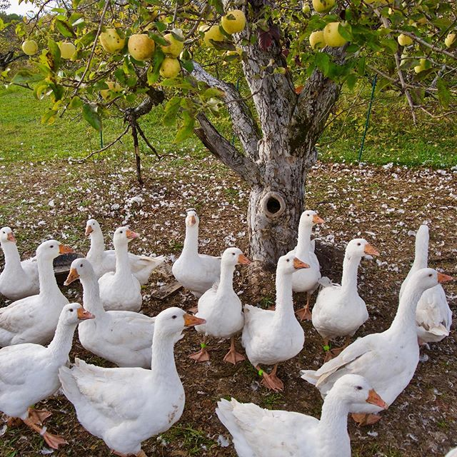 Holiday geese will be available soon!  We are accepting pre-orders and a few dozen have already been spoken for.  Roast goose is a traditional holiday dish that we find absolutely delicious!  #bonticouducks #goose #geese #heritage #freerange #freerangepoultry #pasturedpoultry #hudsonvalleyfarm #hudsonvalleyfood  #hudsonvalley #upstateny #ulstercounty #upstatenewyork #highfalls #farmtotable #smallbusiness #smallfarm #smallfarms #embden #embdengoose #embdemgeese #toulouse #toulousegoose #toulousegeese #heritagegoose #heritagegeese #holidaygoose #roastgoose #roastedgoose #holidayroast