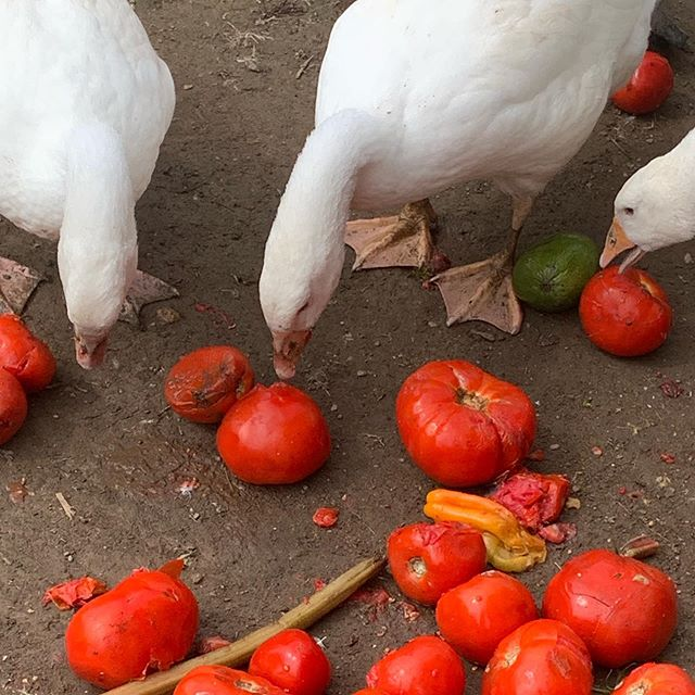 Getting fat in preparation!  #bonticouducks #goose #geese #heritage #freerange #freerangepoultry #pasturedpoultry #hudsonvalleyfarm #hudsonvalleyfood  #hudsonvalley #upstateny #ulstercounty #upstatenewyork #highfalls #farmtotable #smallbusiness #smallfarm #smallfarms #embden #embdengoose #embdemgeese #toulouse #toulousegoose #toulousegeese #heritagegoose #heritagegeese #holidaygoose #roastgoose #roastedgoose #holidayroast
