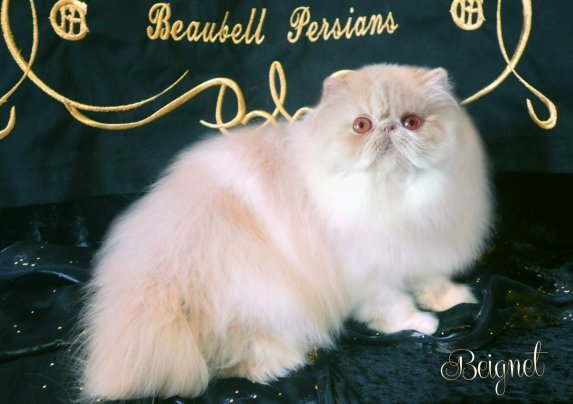 Beaubell's Beignet of Granite City - Cream and White Bicolor Persian