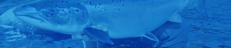 sALMON FIShing -