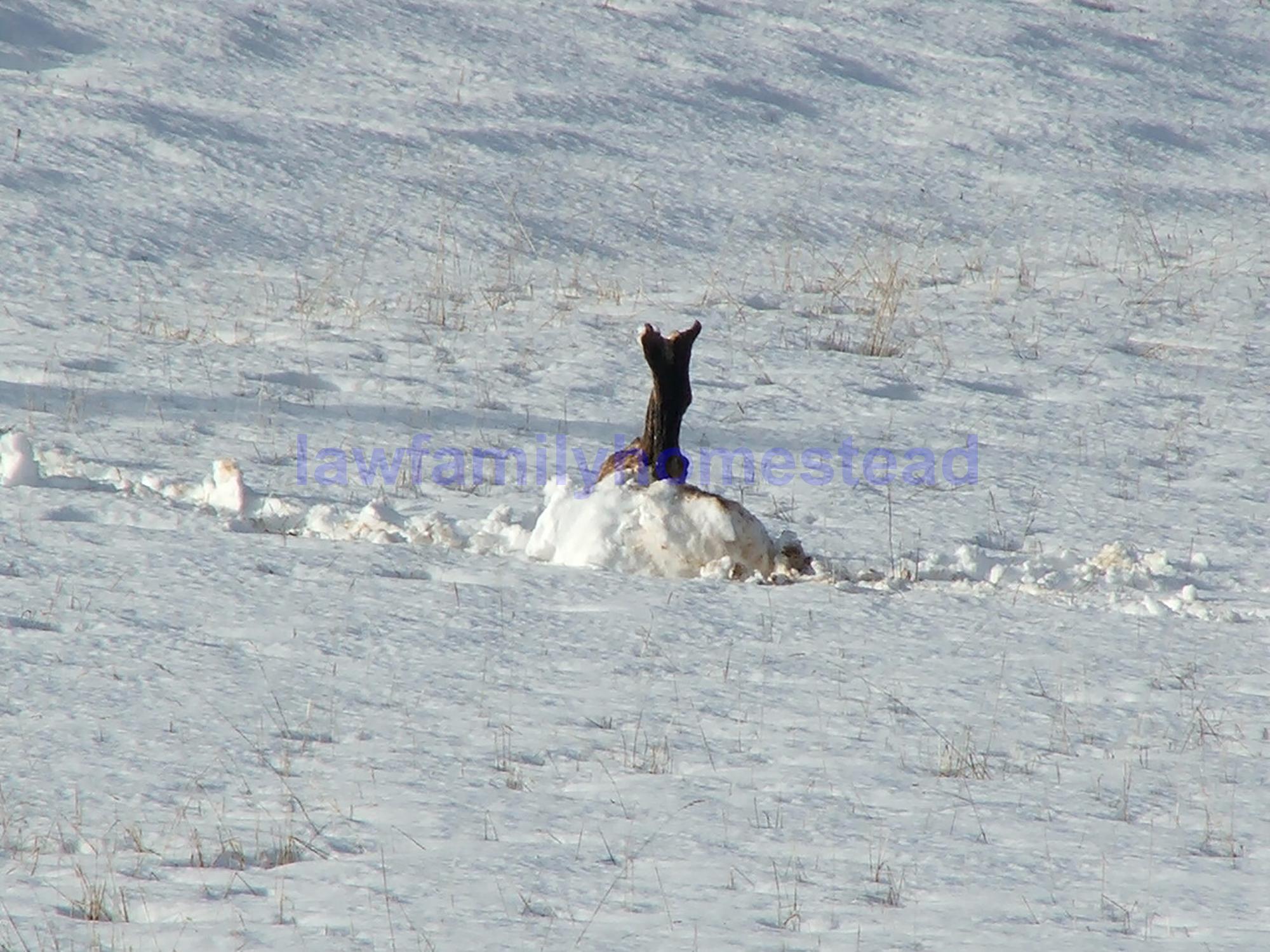 Bull Snowball - 2.jpg