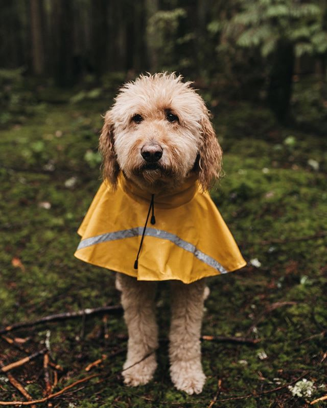 Here she is!! The Walking Churro- also known as our 10.5 year-old goldendoodle. Based on this photo, you can tell she is stoked to be standing in the rain (but look at her rain jacket!!!). Swipe 👉🏽 to see how athletic she is. Hopefully this brightens your day like it did mine 🐶 . . . . . . . . #betweenthepine #betweenthepinephotography #goldendoodle #dogsofinstagram #pnwonderland #thegreatpnw #upperleftusa #upperleftliving #pnwdogs #adventuredogs #dogsonadventure