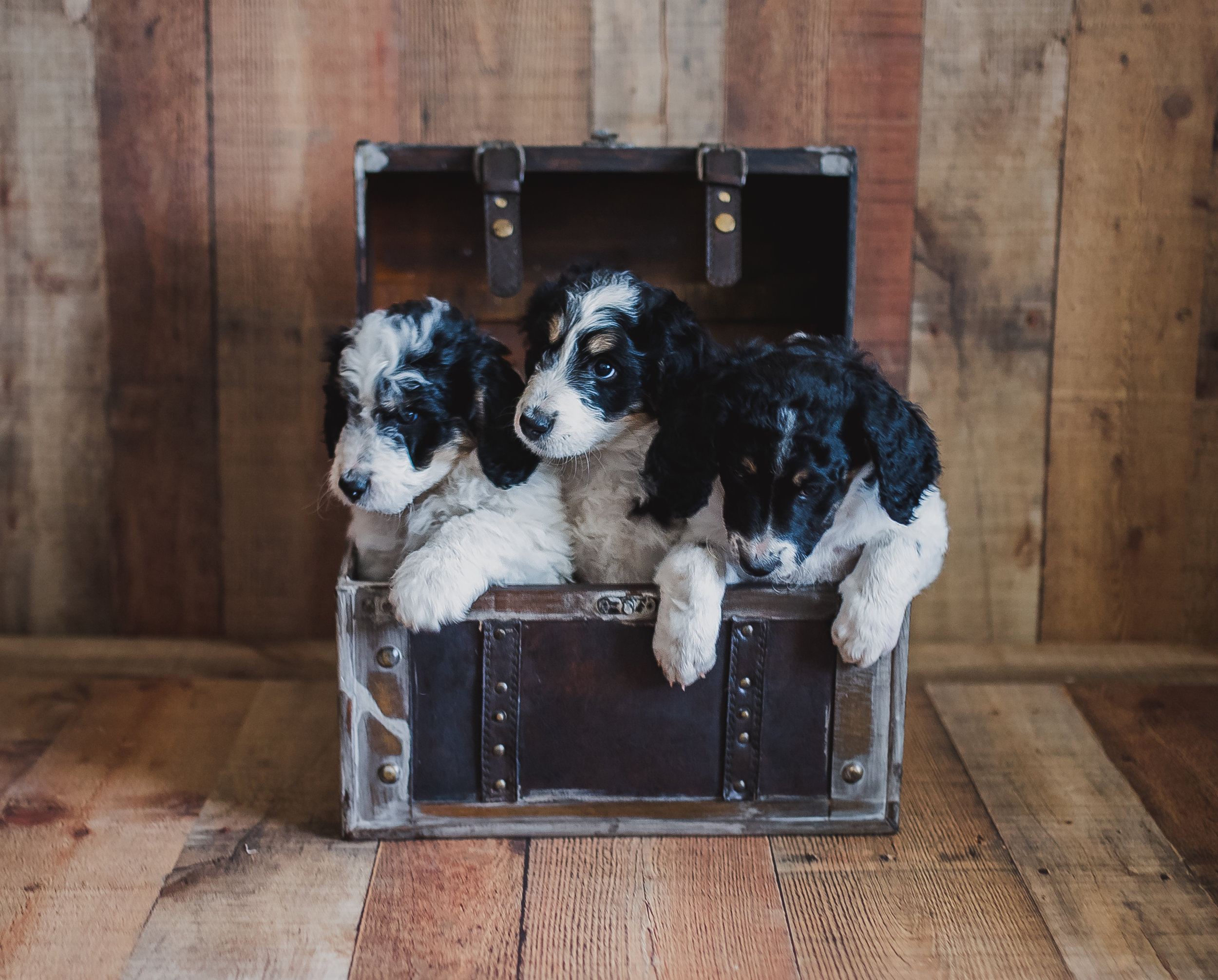 Swiss-doodle-pups-in-box