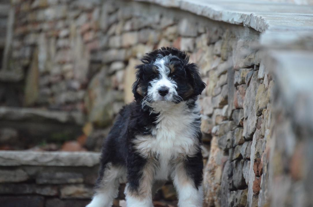 Opal, the 31 pound tri-color Aussiedoodle mom
