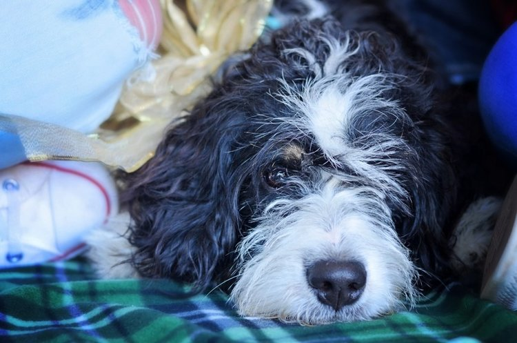 Triplett-the 39 pound mini Bernedoodle Dad